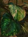 Epipremnum aureum.png