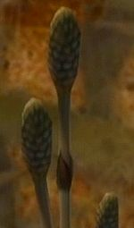 A close up of a Horsetail