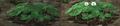 Clover evolution.png