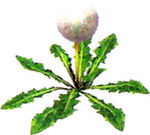 Artwork of a Seeding Dandelion.