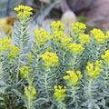 Euphorbe-fleur-jaune-.jpg