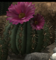 Cactus pink flower.png