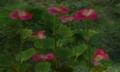 Figwort.png