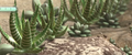 In-game haworthia attenutata.png