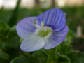 Real-Speedwell.png