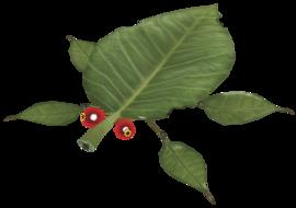 A Skitter Leaf.