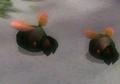 Two Shearwigs P2.png